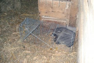 Barn coon removal