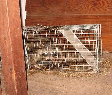 Raccoon caged trapped in barn