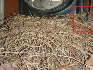 Starling nest under attic fan - FIRE hazard!